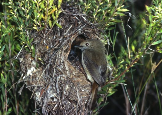 Brown Thornbill at nest