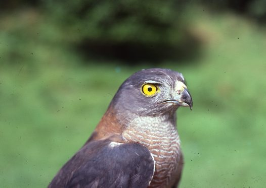 Brown Goshawk, head