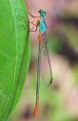 Bi-coloured Damselfly - Adrian Hanox