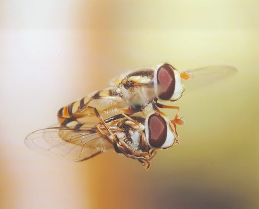 Hoverflies mating mid-air - Peter Firus