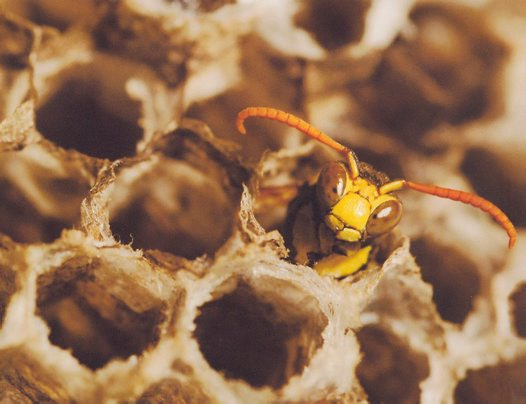 Paper wasp - Murray Nichol