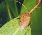 Stink bug - Michelle Webster