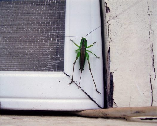 Green Grasshopper - Ruby Watt
