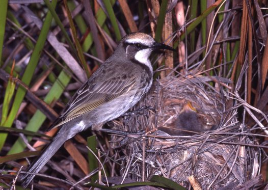 Tawny-crowned Honeyeater with chick
