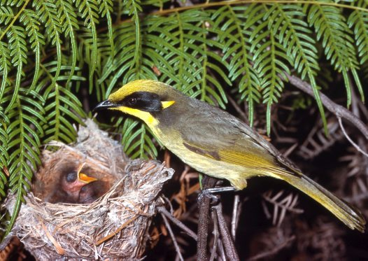 Yellow-tufted Honeyeater feeding chick