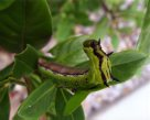 Caterpillar Creeper - Look No Hands! - Rachel Stosic