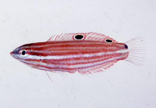False-eyed Wrasse from the Solomon Islands