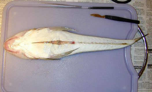 Dissection of a Bluespotted Flathead - First Incision