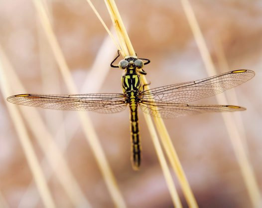Yellow Striped Hunter Dragonfly - Peter Firus