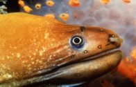 Head of a Green Moray, Gymnothorax prasinus