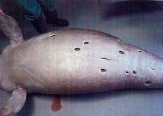 Scarred Dugong