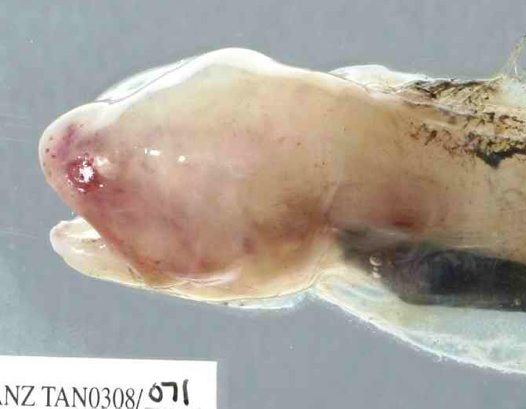 Head of a Gelatinous Blindfish