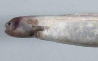Head of a Snubnose Eel