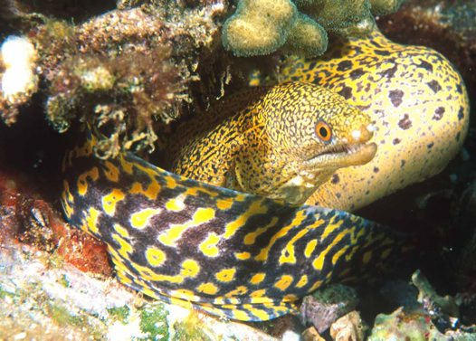 Stout Moray at North West Solitary Island