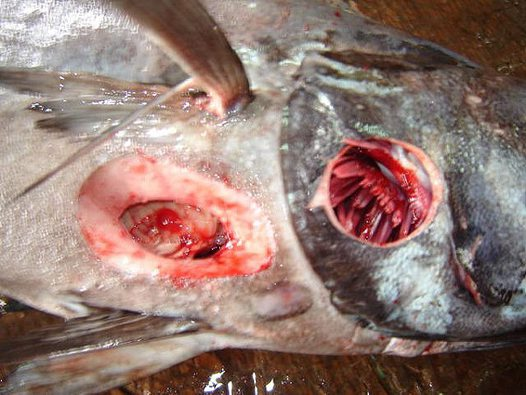 Fish with Cookiecutter Shark wounds