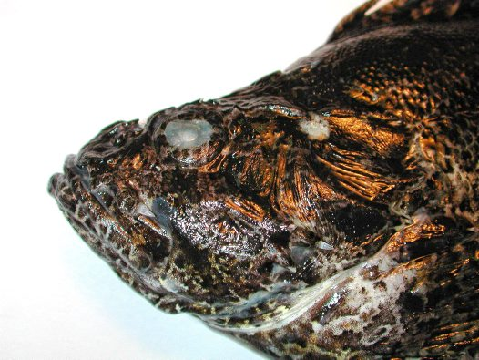 Head of a Bullrout, Notesthes robusta