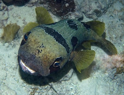 Unknown Porcupinefish, Marsa Shagra Bay