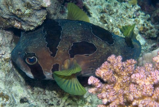 Unknown Porcupinefish at Brayka Bay