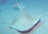Anterior view of an Australian Angelshark
