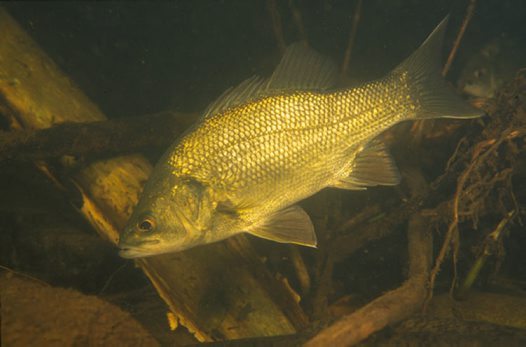 Underwater Australian Bass
