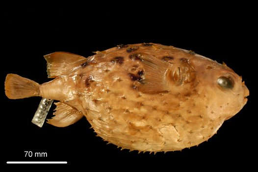 The holotype of Allomycterus pilatus, the Australian Burrfish,