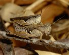 Mating Grasshoppers- Jason Girvan