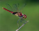 Red Dragonfly - Ken Griffith