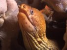 Green Moray, Gymnothorax prasinus