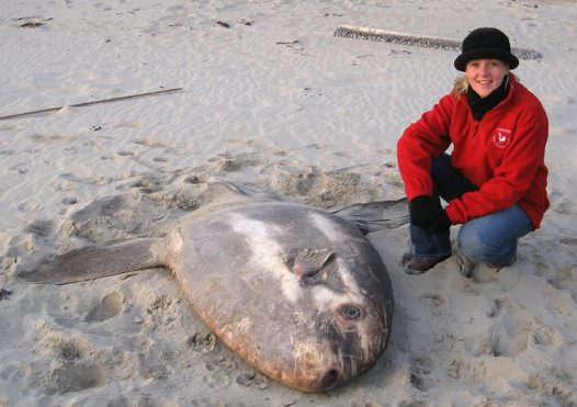 Sharptail Sunfish washed ashore