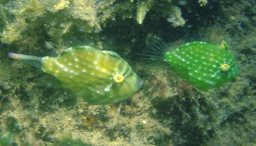 Southern Pygmy Leatherjacket - Courtship behaviour #1