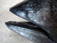 Teeth of a Yellowfin Tuna