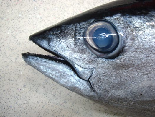 Head of a Yellowfin Tuna