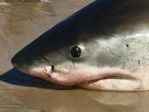 Head of a White Shark washed up at Byron Bay