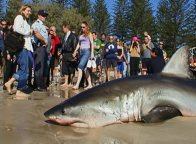 White Shark washed up at Byron Bay