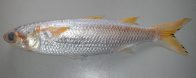 Xanthic Sea Mullet