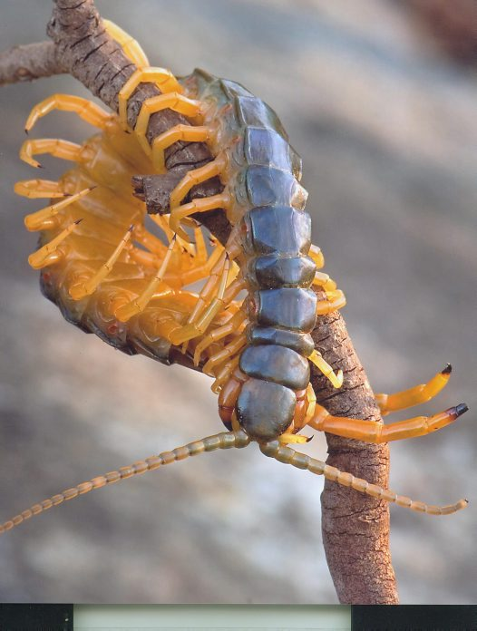 Orange footed Centipede - Damon Wills
