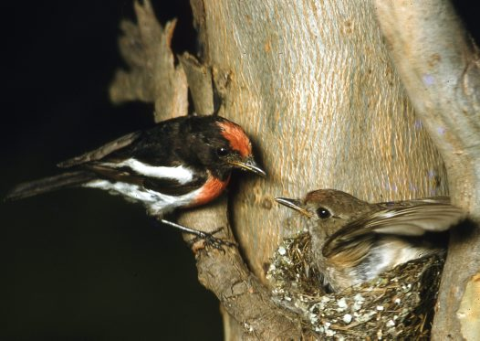 Red-capped Robin pair