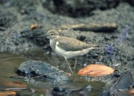 Common Sandpiper wading