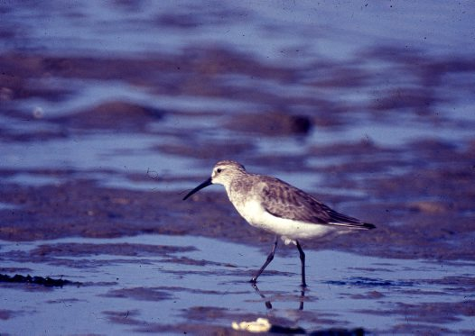 Curlew Sandpiper wading