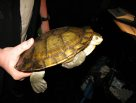 Turtle restrained for health check