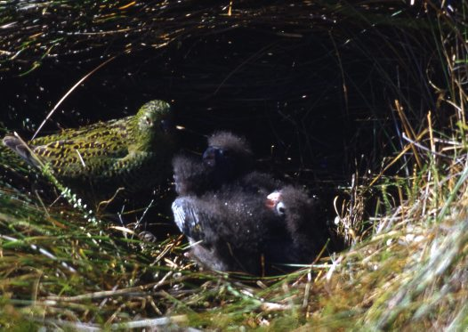 Ground Parrot at nest with chicks