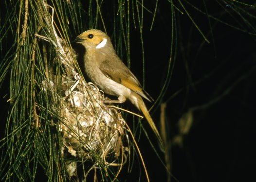 White-plumed Honeyeater at nest