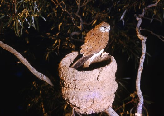 Nankeen Kestrel sitting in a tree