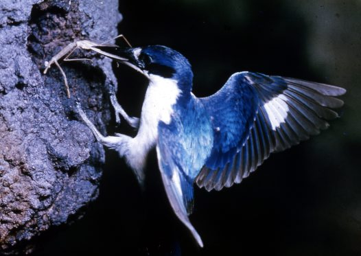 Forest Kingfisher at nest with food