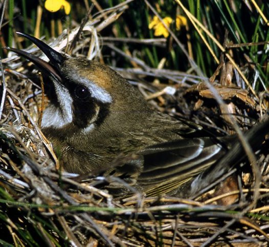 Tawny-crowned Honeyeater at nest