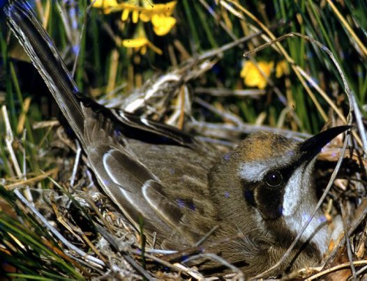 Tawny-crowned Honeyeater in nest