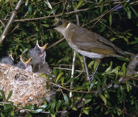 Fuscous Honeyeater feeding chicks