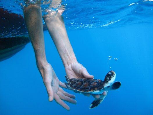 Eureka Prize: Lord Howe Island Green Turtle Release ...