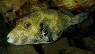 Scribbled Puffer at at Tufi home reef
