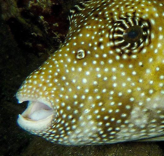 Head of a Scribbled Puffer
